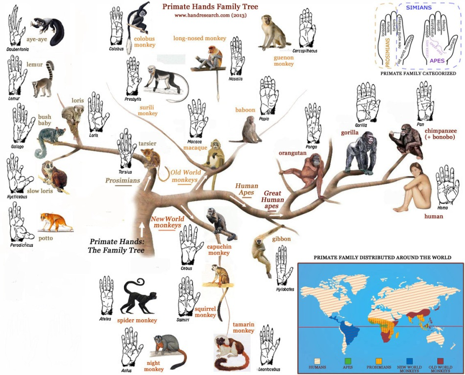 primate-hands-family-tree